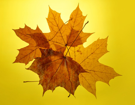 autumn gold yellow background close-up setting sun maple leaf