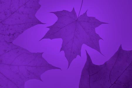 autumn purple ultra violet background close-up maple leaf