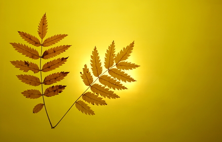 autumn gold yellow background close-up setting sun mountain ash leaves