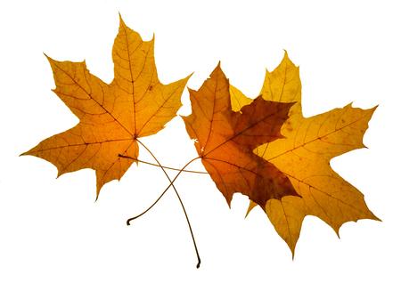 maple leaf autumn white background isolated  close-up