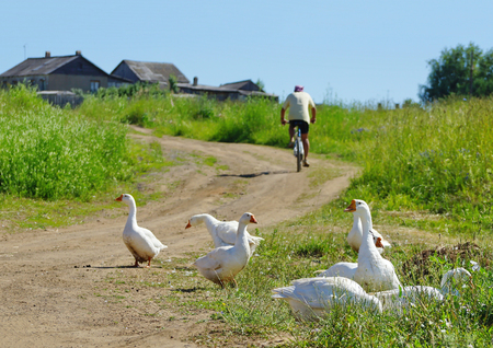 summer in the village geese white road man Cycling life outside the city