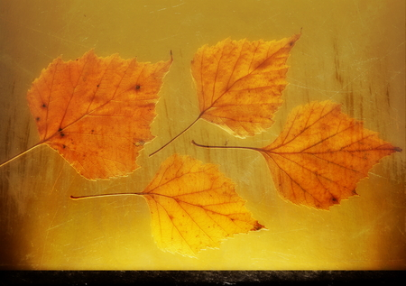 end of autumn yellow birch leaves. Golden background close-up grunge retro style remembrance