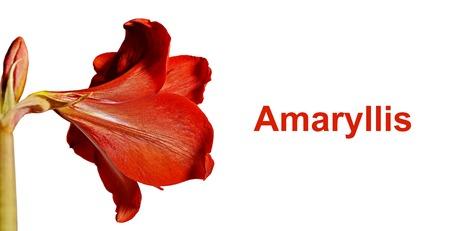 Amaryllis red flower on white isolate background close-up