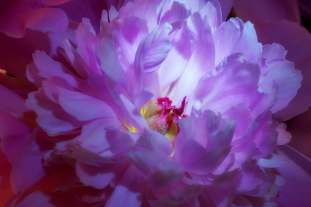 Colorful close up peony flower. Wedding decor. Natural background. Peony petal. Peonies wallpaper pattern. Romantic valentine day decoration. Macro view. Imagens