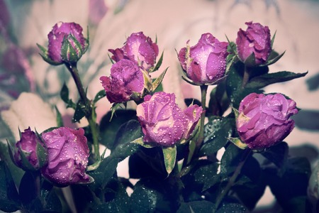 pink purple spray roses interior in abstract style on light background. Natural color. Vintage background.  Vintage style. Romantic love concept. Imagens