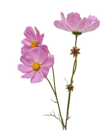 pink cosmos flowers isolated on white background closeup