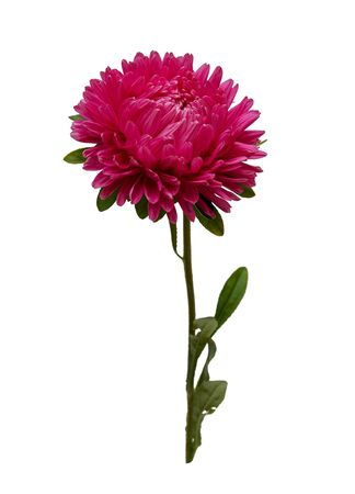pink Burgundy Astra flower isolated on white background closeup