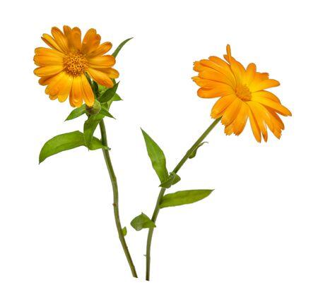 Dos flores de caléndula amarillo aislado sobre fondo blanco closeup
