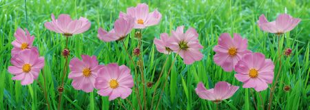 border pink flowers cosmos flowers in the garden. beautiful floral background closeup