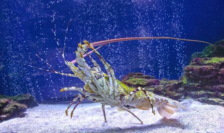 Caribbean spiny lobster climbed up shows the lower part of the body.Panulirus argus. spiny lobster in the aquarium