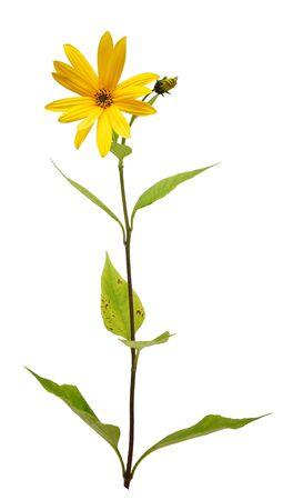 topinambur. artichoke. yellow flower isolated on white background closeup