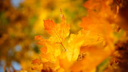 mellow autumn. beautiful maple leaves yellow golden in city Park blurred background close-up