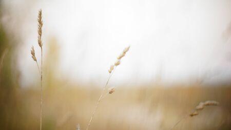 autumn background. autumn field spikes fog foreground blurred background bokeh. autumn melancholy nostalgia aggravation Stok Fotoğraf