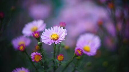 beautiful floral background of autumn flowers. santbrink asters virgin variety Amethyst color purple or violet petals. shallow depth of field blurred background