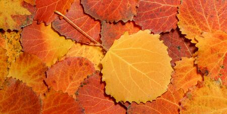 autumn leaves of aspen. fallen yellow red leaves background texture close-up autumn carpet of aspen leaves.