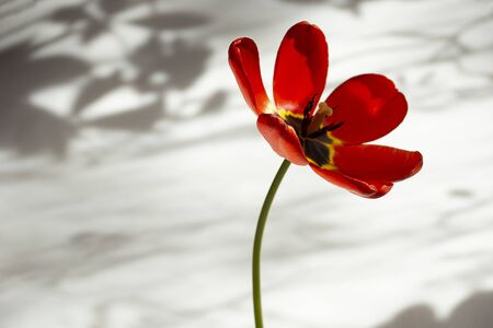 fresh large opened red Tulip in the room on the background of paper in the morning sun light closeup Фото со стока