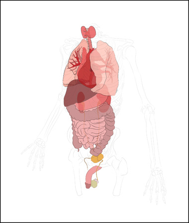 small artery: Illustration of a male figure with the internal organs