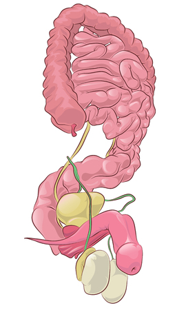 Illustration of the anatomy of the male reproductive system on a white background Illustration