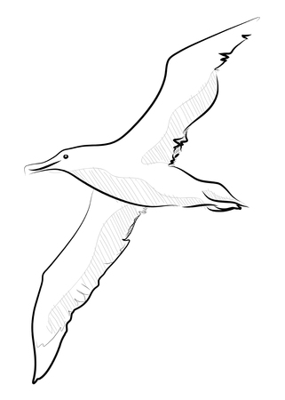 naturalist: hand drawn vector llustration sketch style seagull