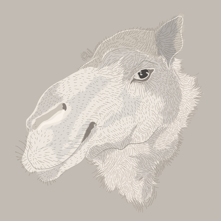 africa antique: engraving style vector hand drawing camel head Illustration