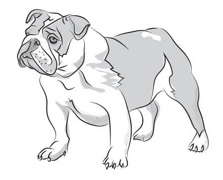english bulldog puppy: Vector sketch hand drawing illustration bulldog standing Illustration