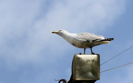 Seagull, adult perched on a light pole, Newquay, Cornwall, England, UK