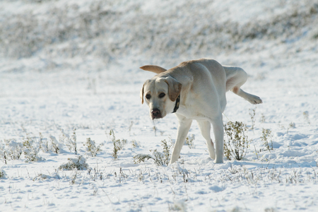 A dog (Labrador retriever) peeing on the snow in winter. Snowy landscape.
