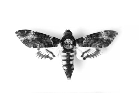 Adult Death's-head Hawkmoth (Acherontia atropos) isolated on white.
