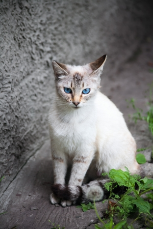 cat with blue eyes photo