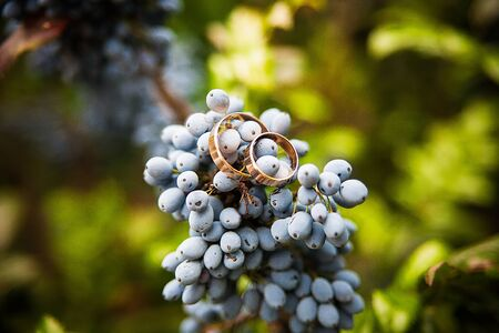 Closeup of blue bunch of grapes hanging on the vine and Golden wedding rings