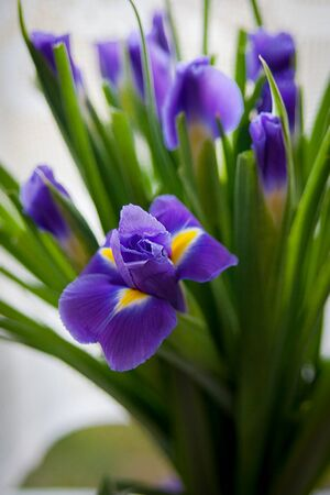 iris reticulata: Close up of purple iris flower outdoor Stock Photo