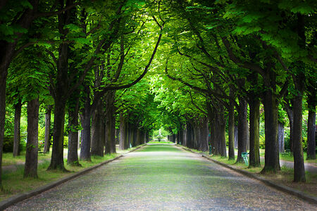 beech tree: Country road running through tree alley in a beautiful summer day