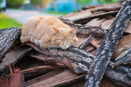 beautiful red cat lays on wood summer
