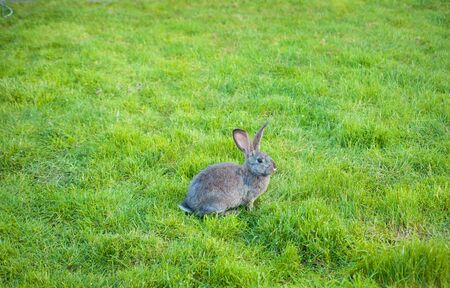 One rabbit eats grass in the garden