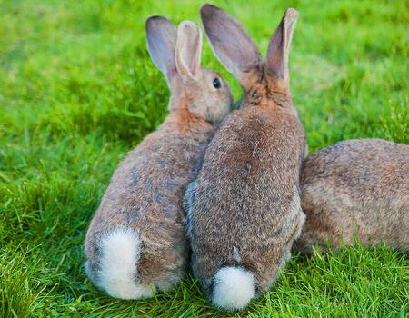 two bunny sitting in green grass rear view Zdjęcie Seryjne