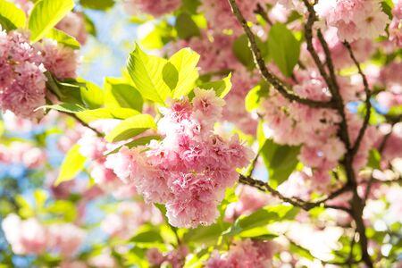 beautiful spring cherry blossom in Uzhgorod. Ukraine