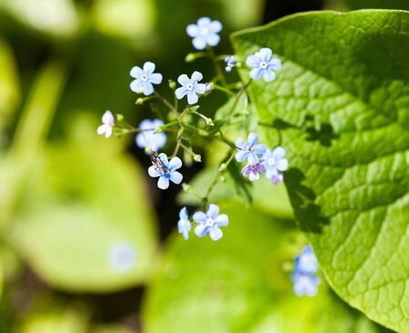 A close up bunch of forget me nots Stockfoto