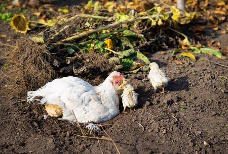 A chicken with chickens sits on the ground in a garden in the village