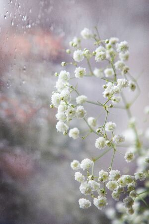 Beautiful white gypsophila flowers stand near the window, close-up, it is raining outside the window.