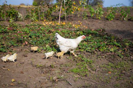 Chicken walks with little chickens in the garden