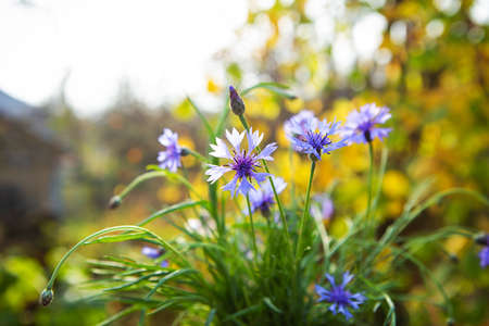 Bouquet of blue cornflowers in the open air. Beautiful and bright autumn 免版税图像