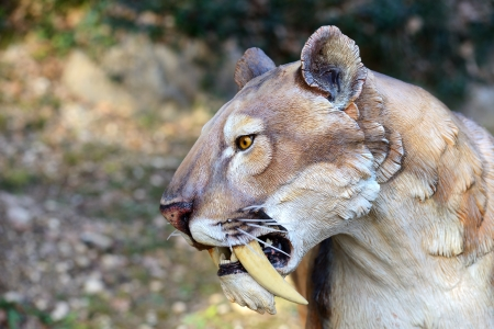 Smilodon - Saber Tooth Tiger, artificial model photographed outdoor