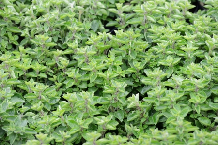 Oregano plants to the market in Italy Stock Photo