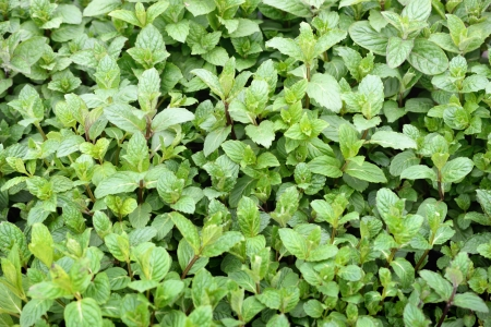Mint plants to the market in Italy Stock Photo