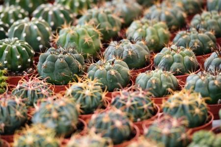 Sukulentních rostlin do květinového trhu, selektivní zaměření