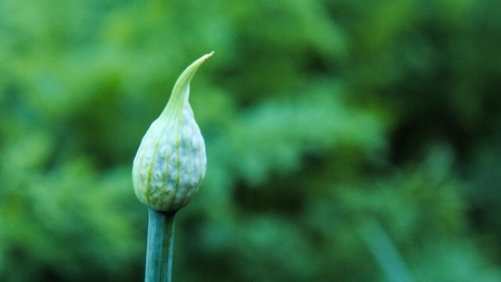 Buds: Onion flower buds
