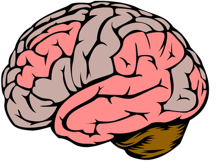cortex: Graphics showing the human brain Illustration