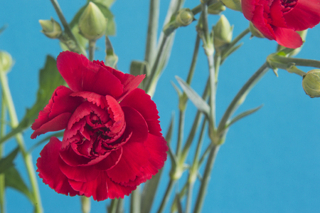 Red clove flowes on blue background