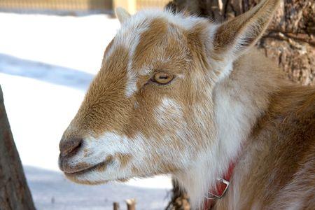 nigerian: Head of a domesticated Nigerian Dwarf doe goat  Stock Photo