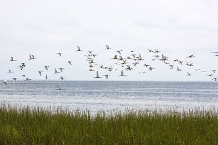 refuge: A flock of White Ibis soar across Apalachee Bay at St. Marks Wildlife Refuge in North Florida.